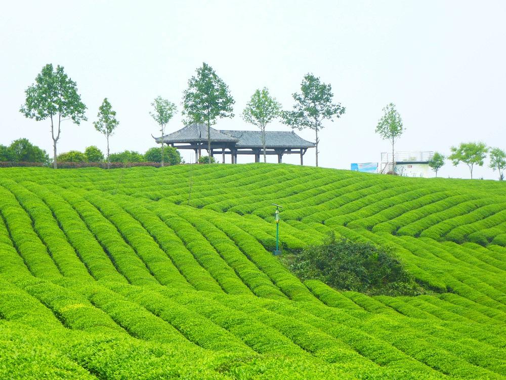 Plantage_Zhejiang_201304_4-klein